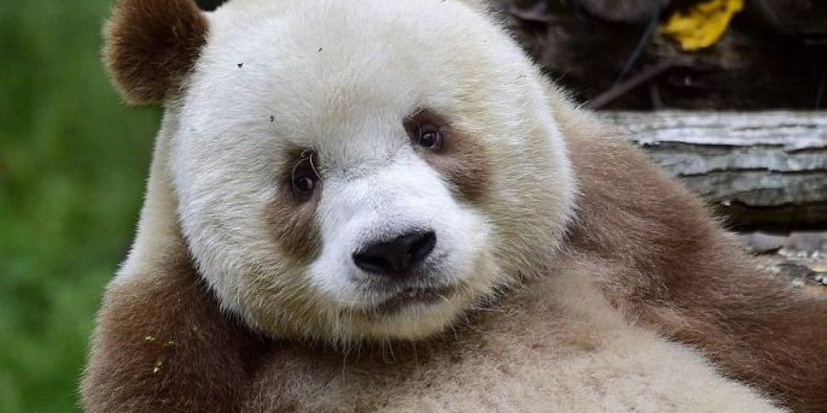 Qizai, el primer y único oso panda marrón en el mundo