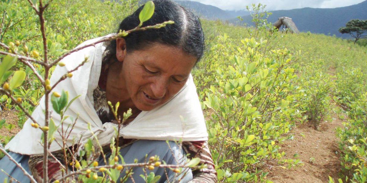 Bolivia exportará derivados lícitos de la hoja de coca a Ecuador