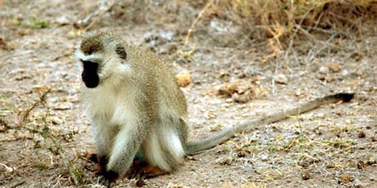 Las hembras primates incitan a los machos a la violencia
