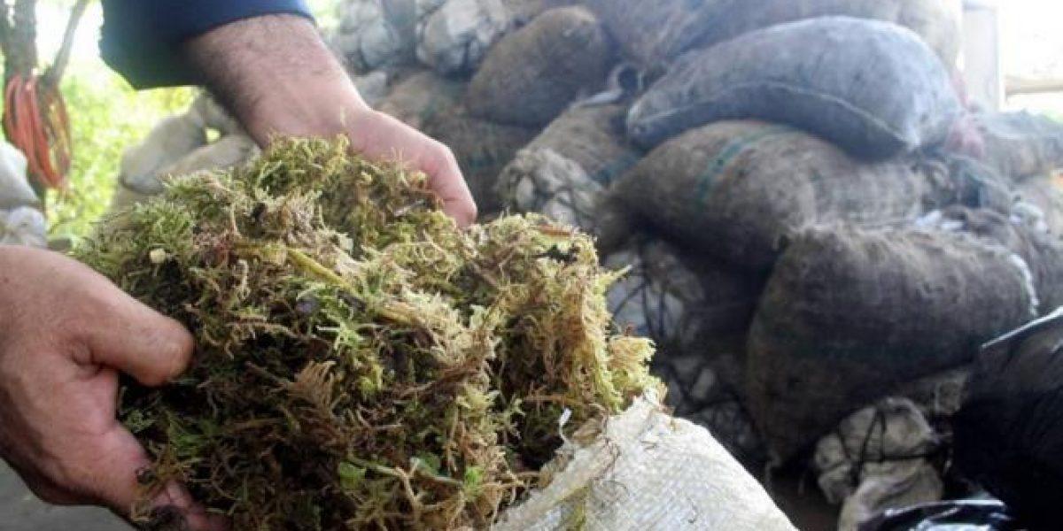 Ministerio de Ambiente solicita evitar el uso de musgo en pesebres navideños