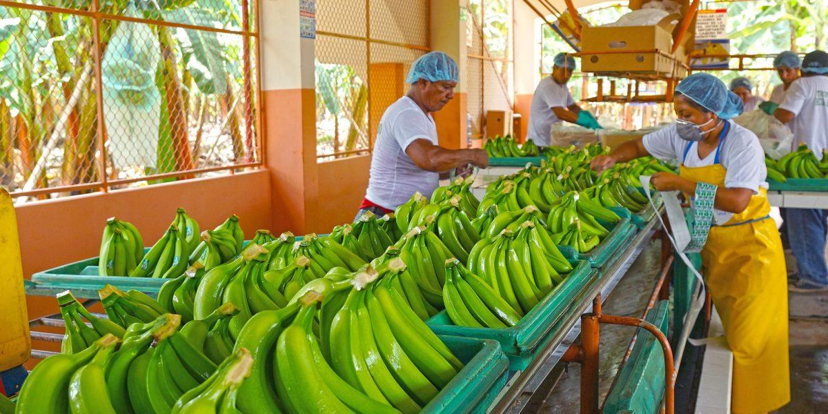 Comisión Comercio PE respalda salvaguardas para banano en acuerdo con Ecuador