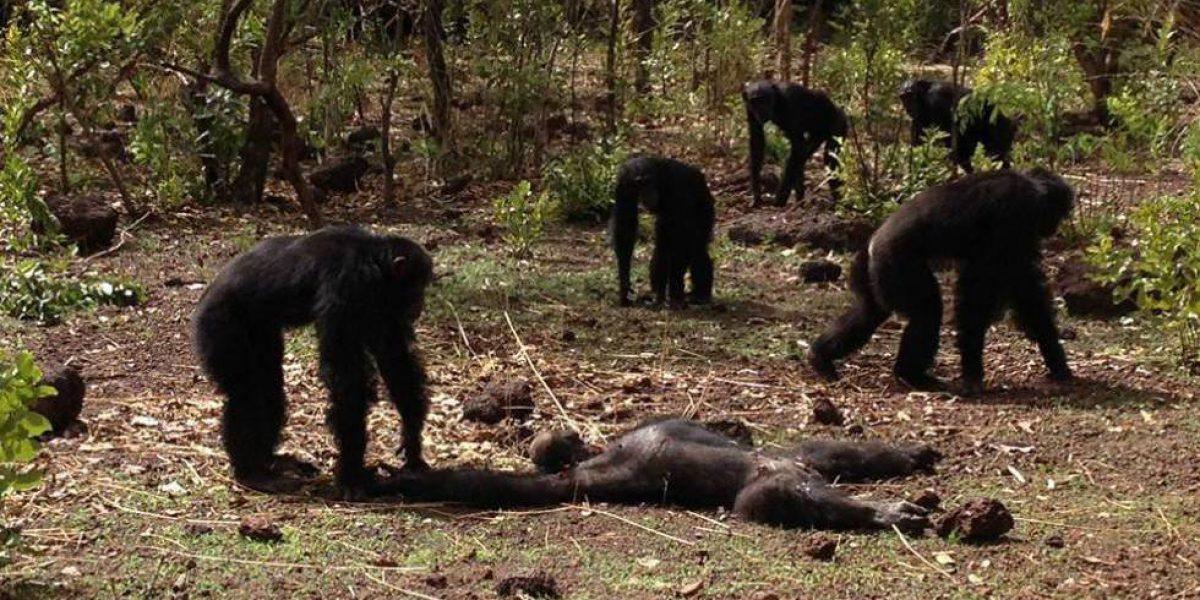 Los chimpancés que mataron al tirano