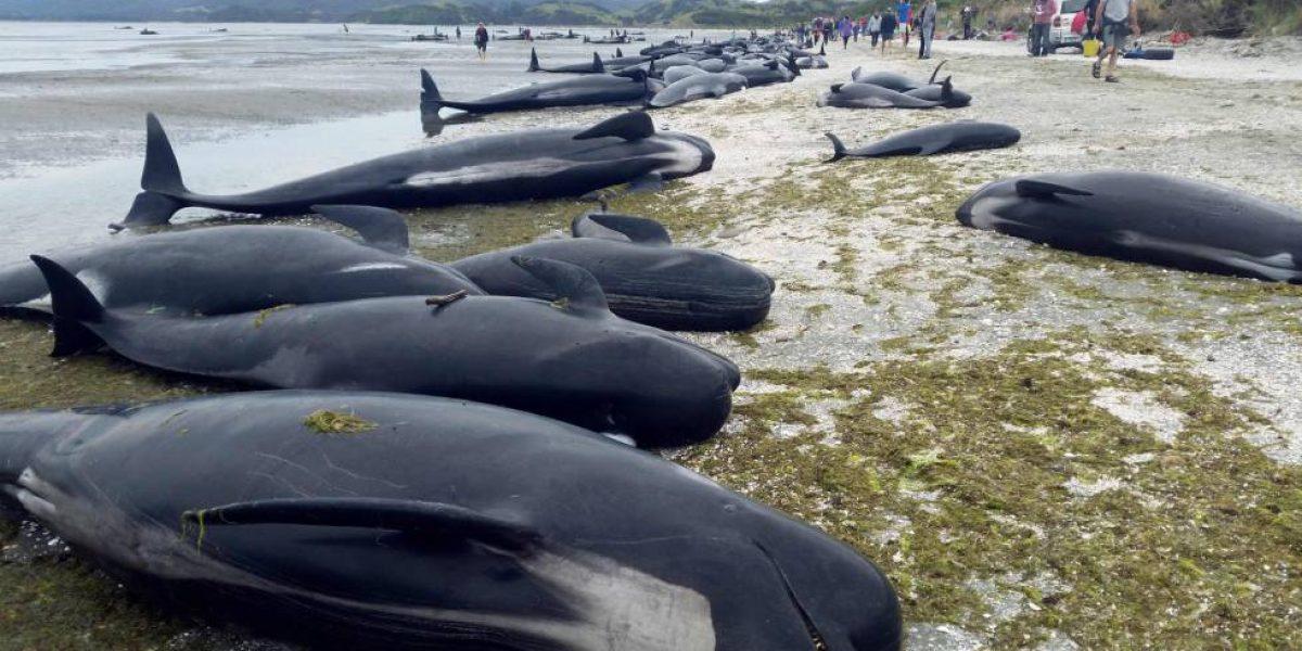 Centenares de ballenas varan en la costa de Nueva Zelanda
