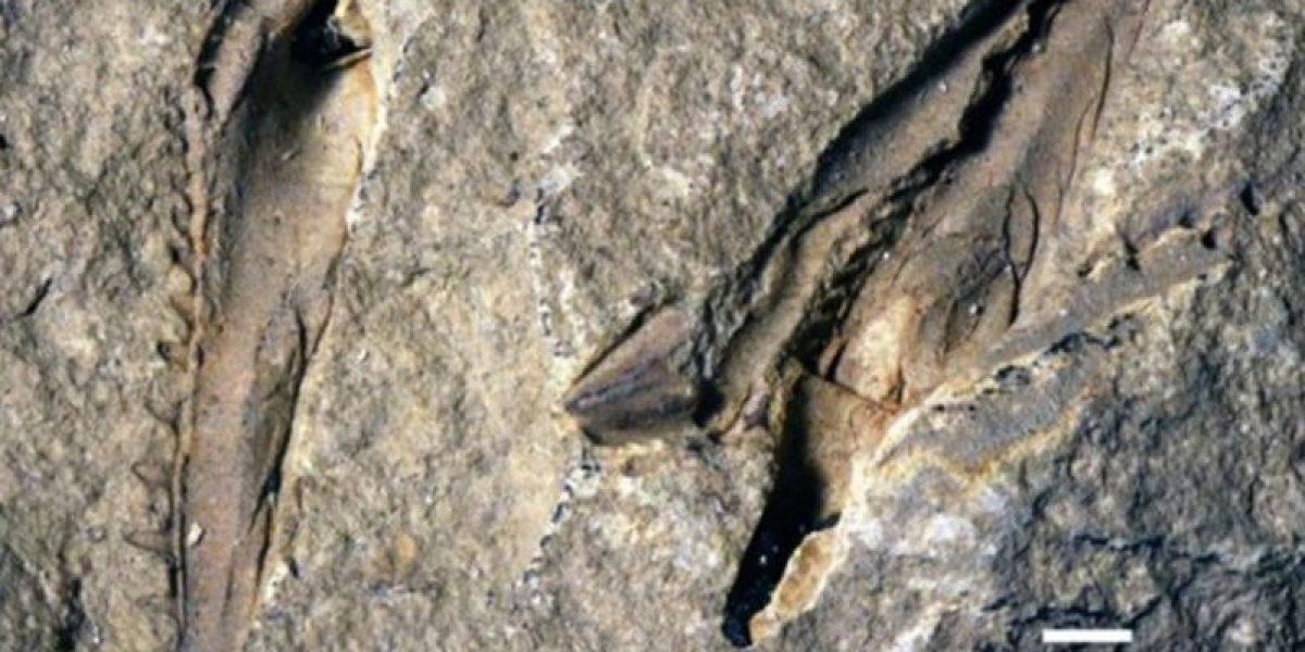 Hallan gusano gigante que habitó los océanos hace millones de años