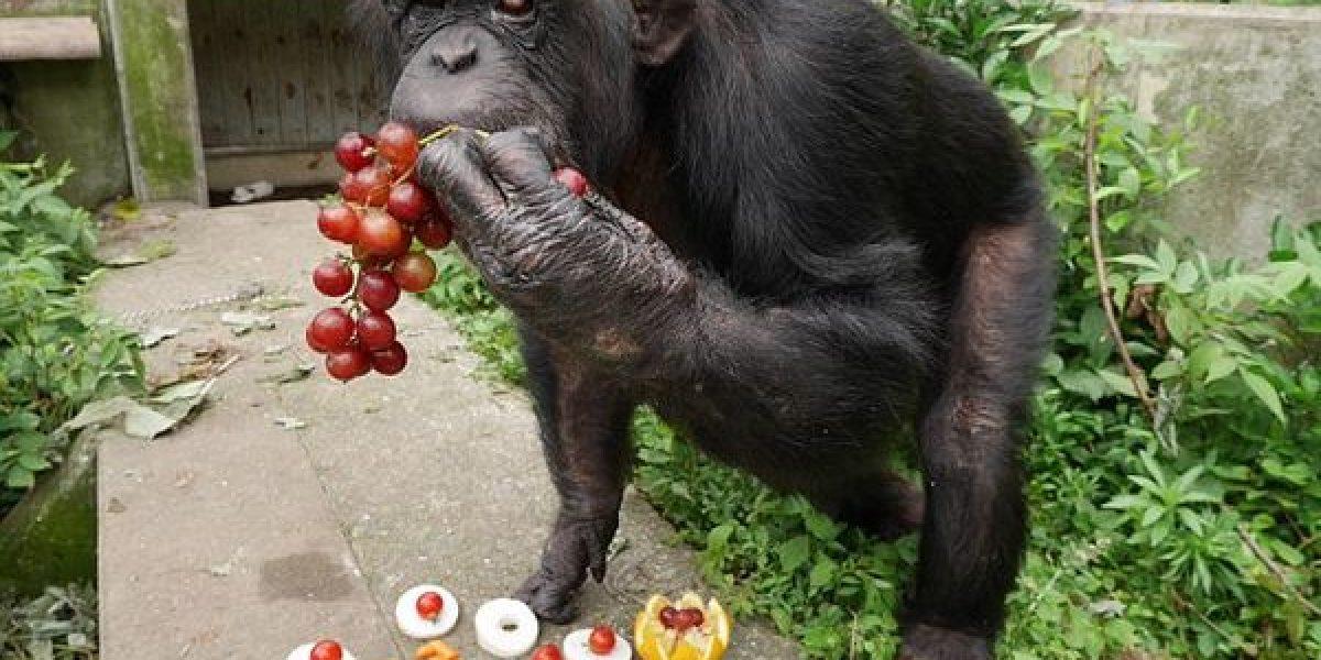 Kanako: la segunda chimpancé en la historia diagnosticada con síndrome de down