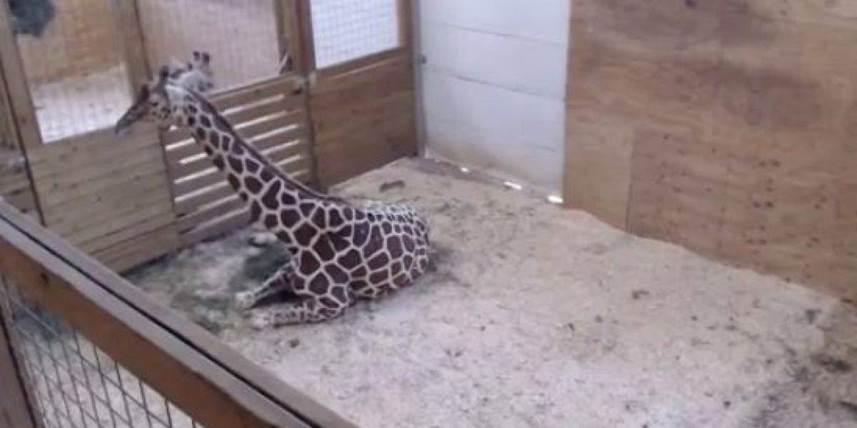 Activistas reaccionan ante video en vivo de nacimiento de jirafa