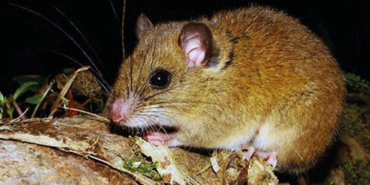 Identifican nueva especie de mamífero en Ecuador