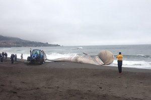 Desconcierto en Chile por una ballena varada con bulto en la cabeza