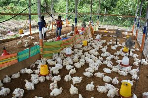 Pollos ecológicos se producen en Naranjal