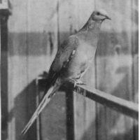 Paloma Viajera. Nativa de la mitad este de Norteamérica, desde Canadá al golfo de México. Martha, la última paloma migratoria, murió en el Zoológico de Cincinnati en 1914.