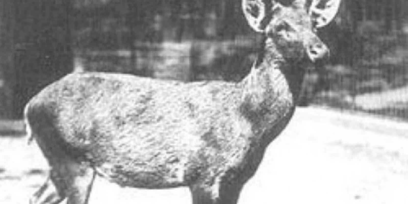 Ciervo de Schomburgk. El hábitat original de esta especie se encontraba en las planicies pantanosas de Tailandia. Se estima que la última manada salvaje desapareció en 1932 y en 1938 murió el último ejemplar. Bucardo (Cabra Montes Ibérica). El 5 de enero del año 2000 murió el último bucardo (Capra pyrenaica pyrenaica) que vivía en España. Esta subespecie de cabra montés ibérica estaba en peligro de extinción desde principios del siglo XX, debido sobre todo a la caza excesiva. 14de14 [Pantalla completa] Bucardo (Cabra Montes Ibérica). El 5 de enero del año 2000 murió el último bucardo (Capra pyrenaica pyrenaica) que vivía en España. Esta subespecie de cabra montés ibérica estaba en peligro de extinción desde principios del siglo XX, debido sobre todo a la caza excesiva.