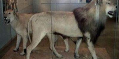 León del Cabo. Este león de 250 kilos de peso era la más grande de las que en territorio sudafricano. Vivía en la zona de las llanuras herbáceas del Karoo, al suroeste de Sudáfrica. El último ejemplar de esta especie murió en 1865.