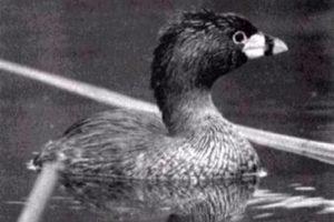 Pato Poc de Guatemala. El pato poc, Zampullín del Lago Atitlán o Macá de Atitlán (Podilymbus gigas) es un ave endémica del lago de Atitlán de Guatemala, donde fue estudiada su biología e historia natural en los años 60. Este pato está considerado extinto desde 2004.