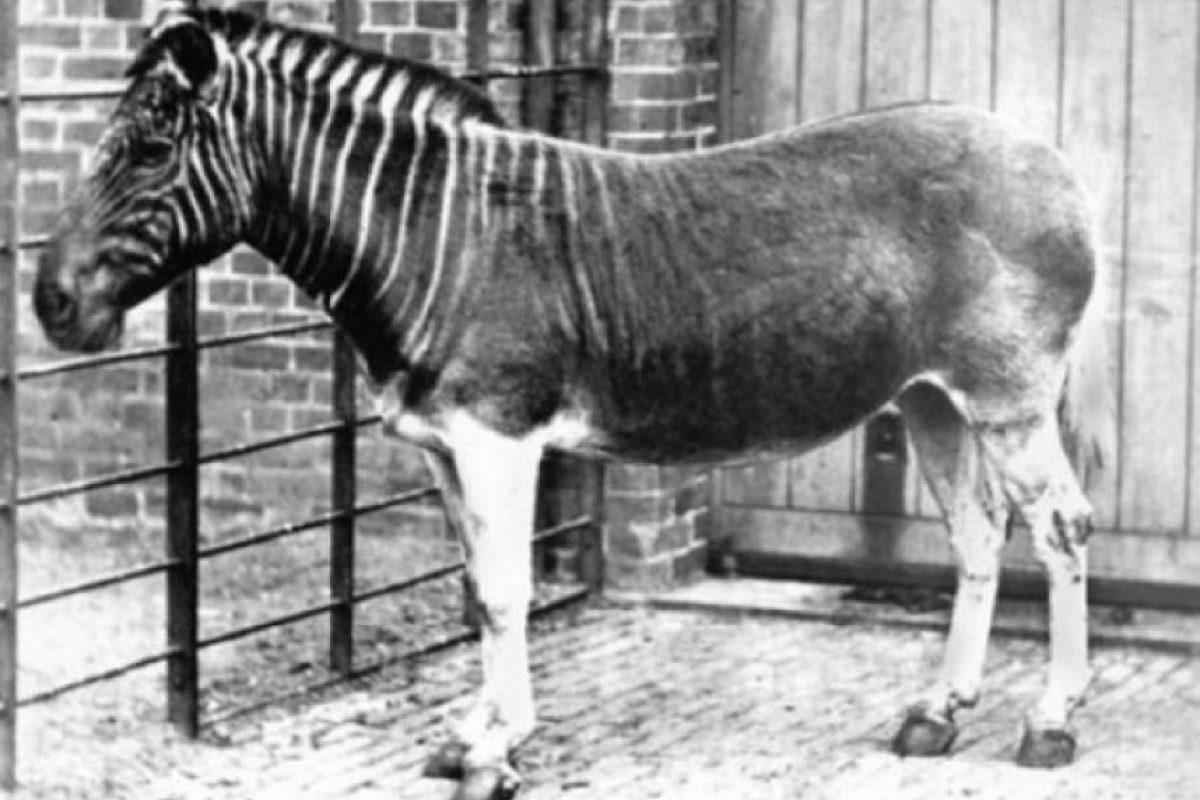 Quagga. Esta especie de cebra se extinguió completamente en Sudáfrica aproximadamente en 1870. Los quaggas fueron cazados por los primeros colonos holandeses, para aprovechar su carne y piel, a mediados del siglo XIX su caza aumento y la población de estos animales descendió rápidamente, y el 12 de agosto de 1883 murió el último quagga.