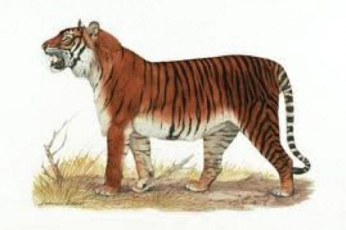 Tigre de Bali. El tigre de Bali o tigre balinés (Panthera tigris balica) esta subespecie de tigre era endémica de la isla Indonesia de Bali, era la más pequeña de todas, rondando el tamaño de un jaguar. El 27 de septiembre de 1937 se cazó el último ejemplar, una hembra, en esta zona.
