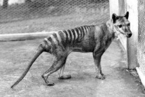 Tilacino (Tigre de Tasmania). Este mámifero, también conocido como lobo de Tasmania, talacino, lobo marsupial o Tigre de Tasmania era un carnívoro marsupial nativo de Australia. El último ejemplar que se capturó vivo fue vendido al Hobart Zoo de Tasmania en 1933 y posteriormennte murió en 1936.