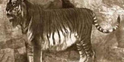 """Tigre Persa. El tigre persa también se conocía como """"tigre del Caspio"""". Habitaba la región comprendida por la península de Anatolia, el Cáucaso, el Kurdistán, norte de Irak e Irán, Afganistán y gran parte de Asia Central (hasta Mongolia). El último avistamiento se produjo en Tadjikistán en 1961."""