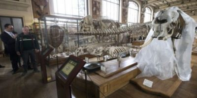 Hombre intentó robar colmillos de elefante de Luis XIV con motosierra