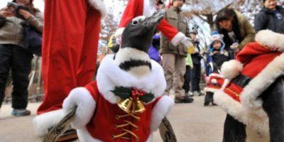 Un pinguino fue captado durante el desfile navideño en Yongin, al sur de Seúl, en Corea del Sur. AFP