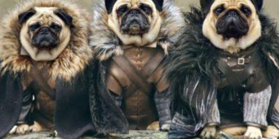 "Pugs, a la ""Game of Thrones"""