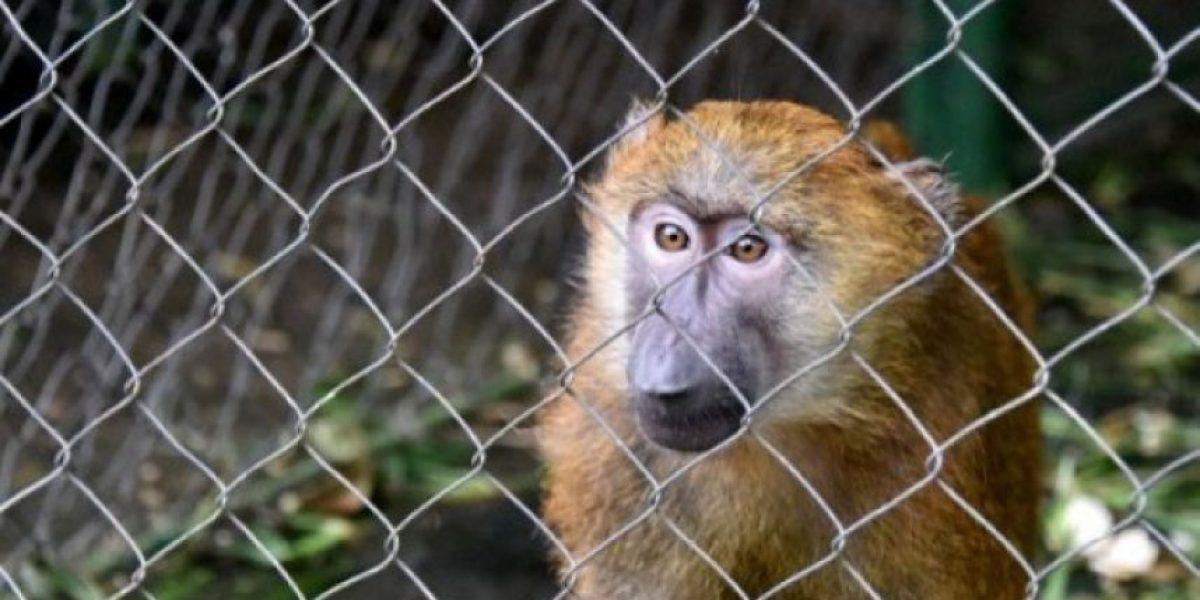 Las otras víctimas de ébola: Abandonan animales en zoológicos africanos