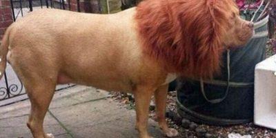 FOTOS. Hombre transformó su can en un león