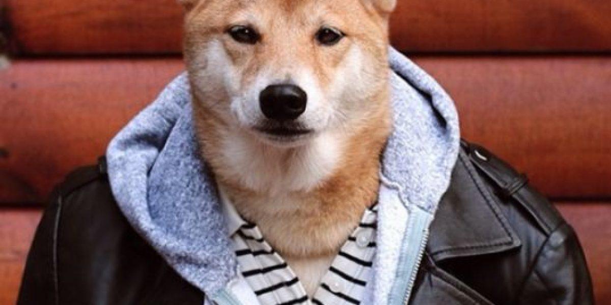 Este Shiba Inu es más rico que tú y tiene el trabajo que siempre soñaste