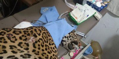 Indigna ataque armado contra jaguar en Petén
