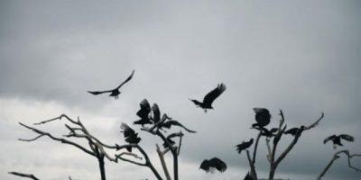 Los huéspedes oscuros, como son llamados estas aves, merodean en la zona 3.