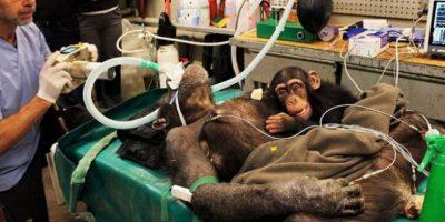 FOTO. Pequeña chimpancé no quiere separarse de su madre que va al quirófano