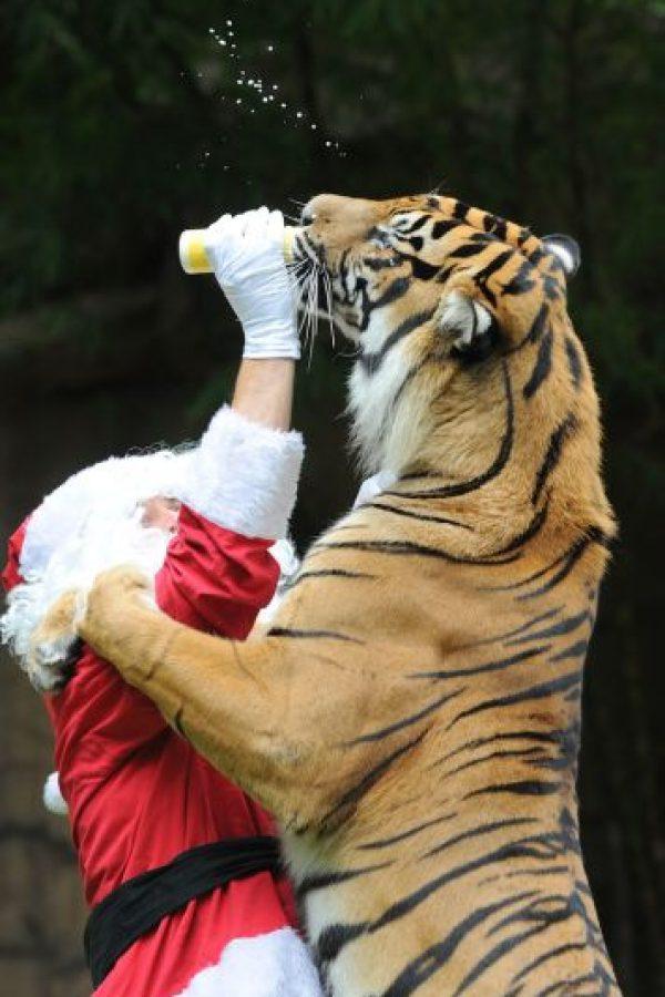 Alimentando a un tigre Foto:Getty Imagaes