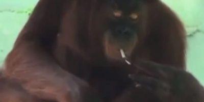 Este orangután de Indonesia aprendió a fumar después de que los turistas le arrojaran las colillas de los cigarros. Foto:YouTube