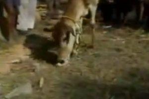 Esta vaca capturó y masticó a un pollo Foto:YouTube