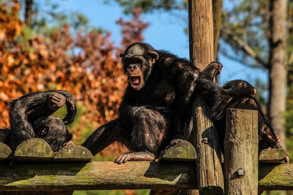 Similar al comportamiento humano, los chimpancés atacan a sus vecinos con el fin de adquirir nuevos territorios. Foto:Pixabay