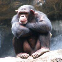 Cuando los chimpancés machos desean aparearse, toman al bebé de la hembra, lo descuartizan y se lo comen frente a ella. Foto:Wikipedia