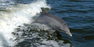 En 2012, se encontraron diversas marsopas muertas con los huesos rotos, según los testigos esto fue obra de algunos delfines nariz de botella. Foto:Wikipedia