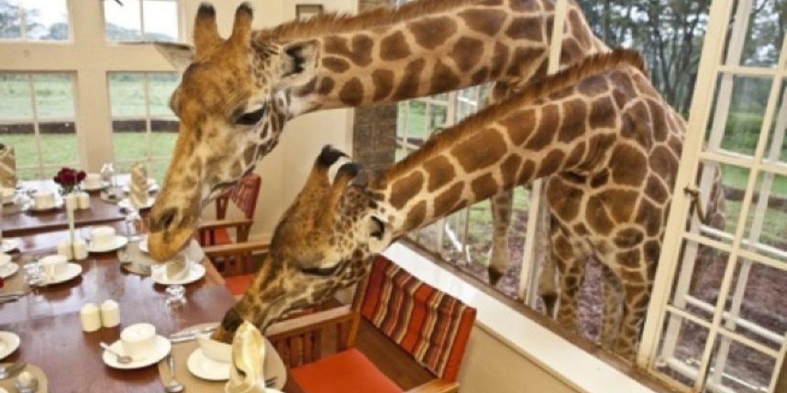 Giraffe Manor, en Kenya. Dormirán al lado de estas gigantes y hermosas criaturas. Foto:Geekology