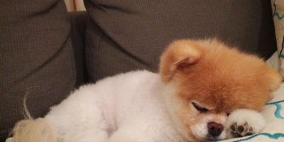 Boo es un perrito que parece oso y tiene más de 16 millones de seguidores en Facebook. Foto:Facebook