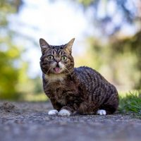Lil Bub tiene casi un millón y medio de fans en Facebook. Nació con una deformidad congénita que lo ha transformado en un ser adorable. Foto:Facebook