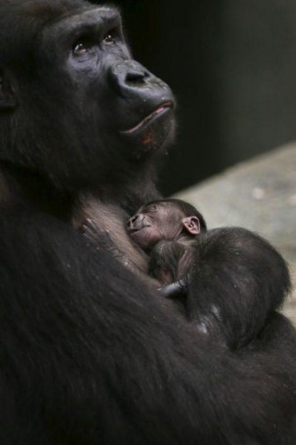 El 4 de noviembre de 2013 nació este otro pequeño gorila en Brookfield, Illinois, Estados Unidos Foto:Getty Images