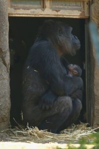 A fines de octubre nació este pequeño gorila en Sidney, Australia Foto:Getty Images