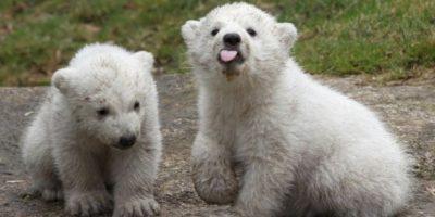 3. Investigadores utilizarán los resultados del estudio en Beafort, Alaska para verificar tendencias en 19 poblaciones de osos polares en el mundo. Foto:Getty