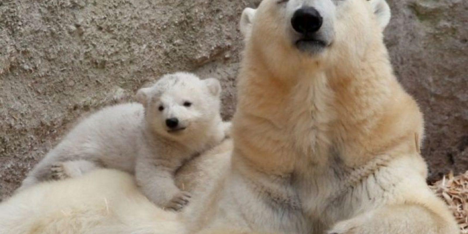 2. En 2008 los osos polares fueron incluidos en la lista de la Ley de Especies en Peligro. Foto:Getty