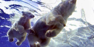 Fotos: Los osos polares, a un paso de la extinción