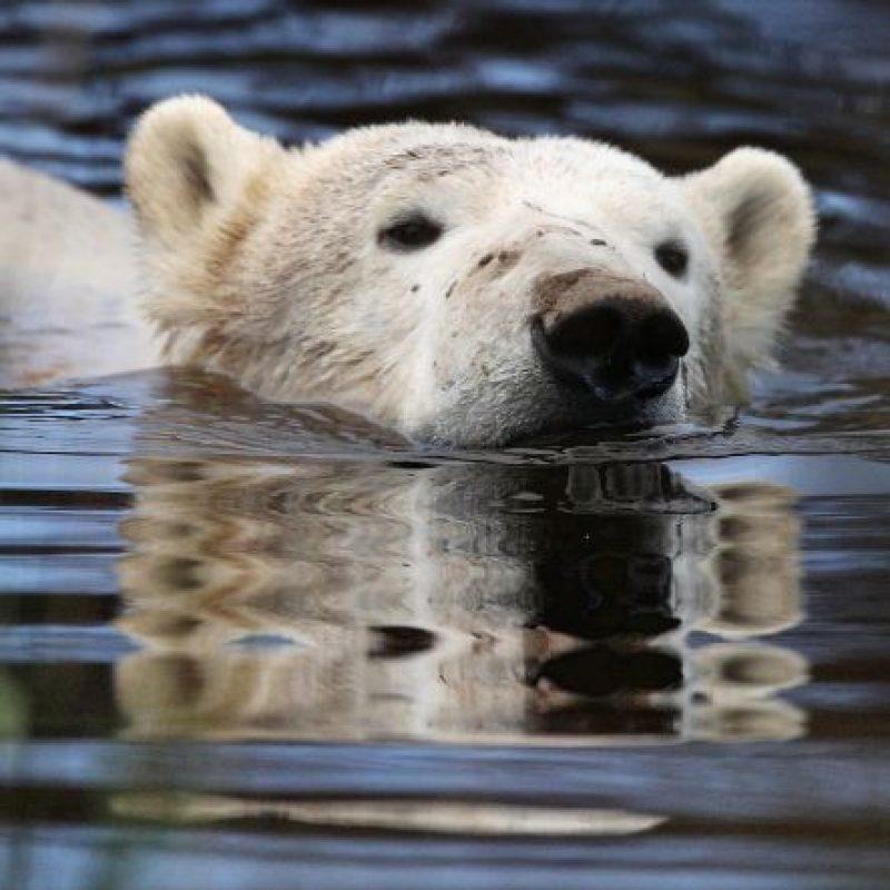 9. Según el Consejo de Defensa de Recursos Naturales de Estados Unidos (NRDC, por sus siglas en inglés), la mayoría de los osos polares se mueven en enormes trozos de hielo por el Ártico en busca de pareja y la caza de focas. Foto:Getty