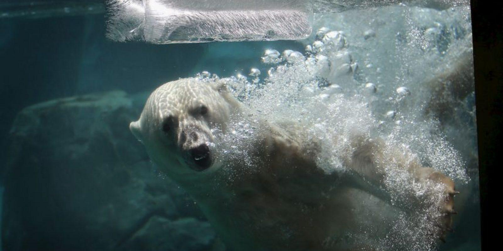 1. La situación de los osos polares ha dejado en evidencia las consecuencias del cambio climático. Foto:Getty