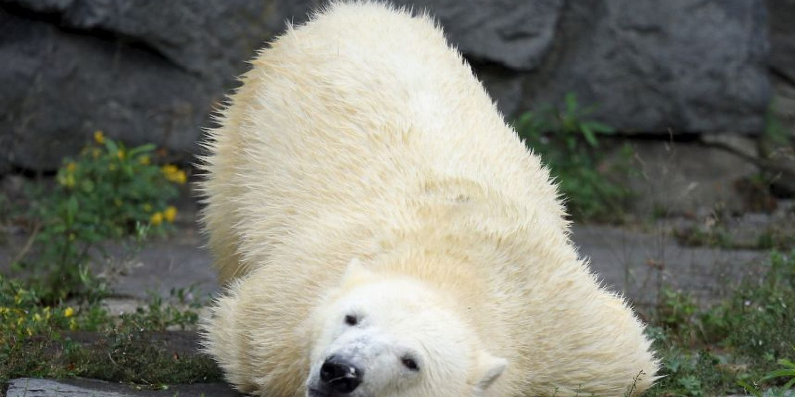 17. Esto podría traer como consecuencia la extinción de los osos polares a finales de este siglo. Foto:Getty