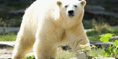 8. Esto les dificulta cazar focas. Foto:Getty
