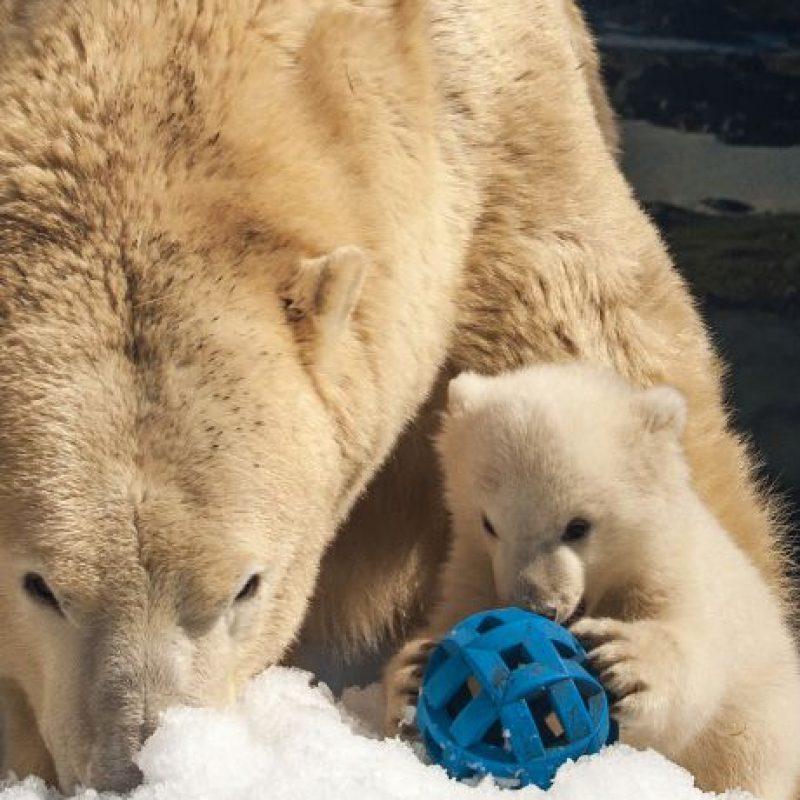 4. En la actualidad, cuatro poblaciones, incluida la población sur del Mar de Beaufort, se considera que están en declive, según ABC. Foto:Getty