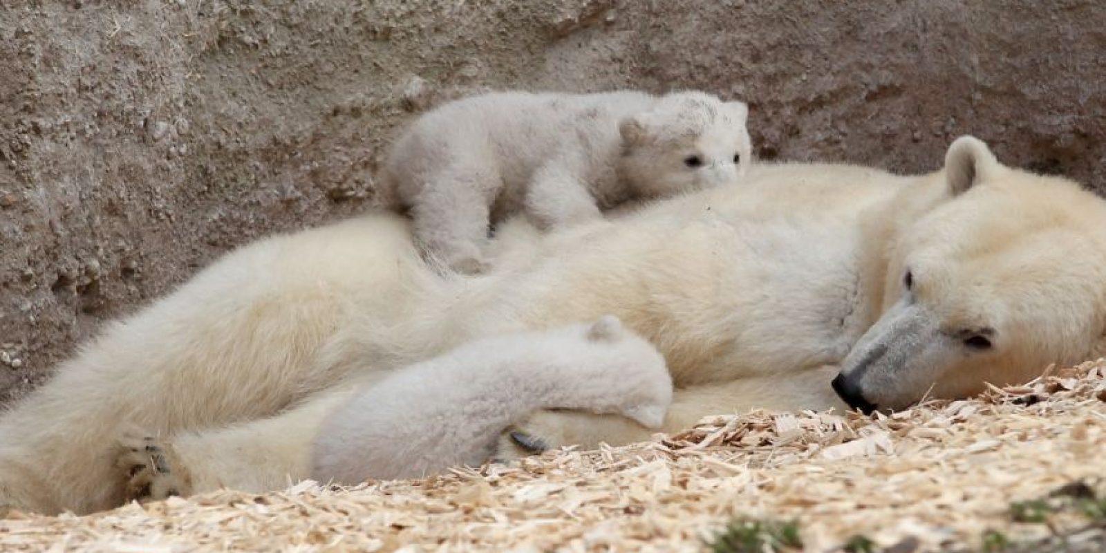 12. El hábitat del oso polar en el Ártico se está derritiendo. Foto:Getty
